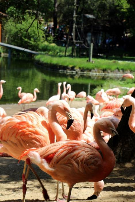 Flamands roses_Palmyre