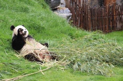 Pairi Daiza - Panda