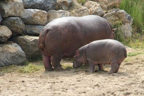 Pairi Daiza - Hippopotame