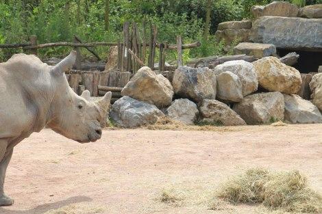 Pairi Daiza - Rhinocéros