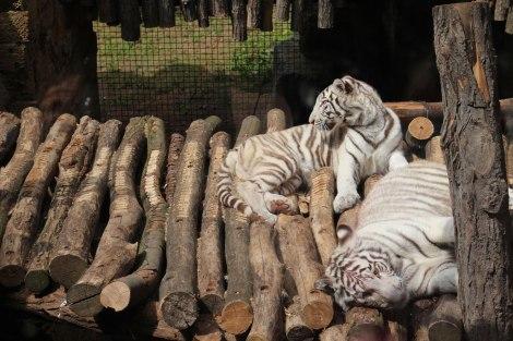 Pairi Daiza - Tigres blancs
