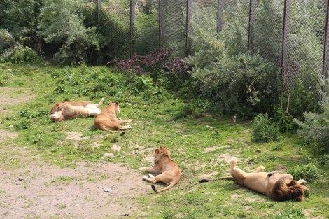 Pairi Daiza - Lionnes et Roi de la jungle