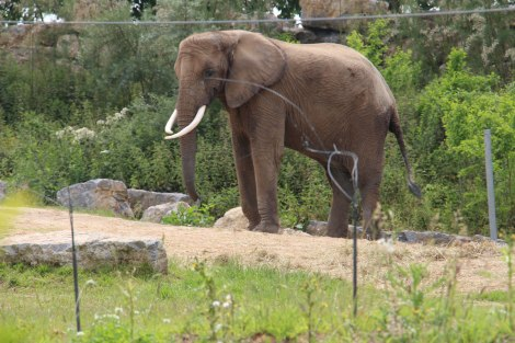 Pairi Daiza - Eléphant d'Afrique