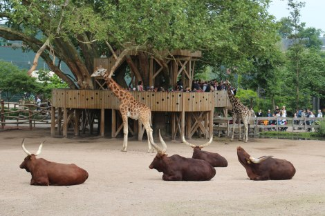 Pairi Daiza - Girafes et buffles