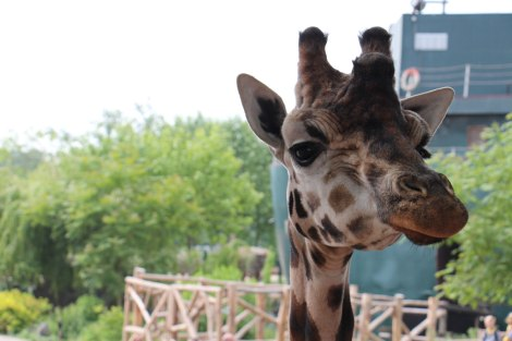 Pairi Daiza - Girafe
