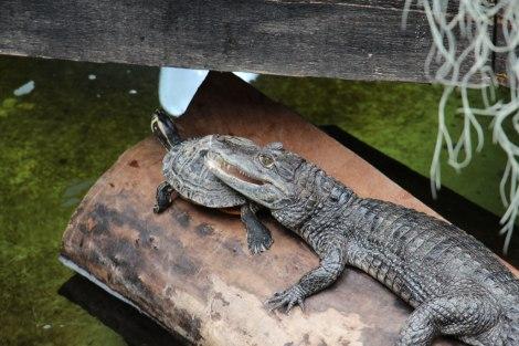 Pairi Daiza - Tortue et Aligator
