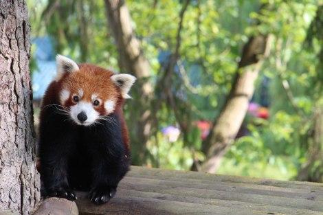 Pairi Daiza - Petit panda roux